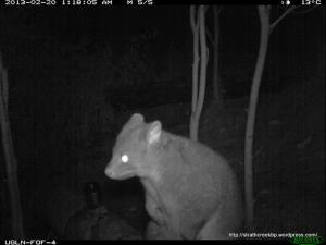 6-Mountain Brushtail Possum