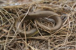 Same individual Striped Legless Lizard (Delma impar).
