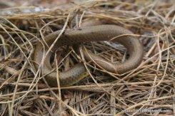 Same individual Striped Legless Lizard (Delma impar).