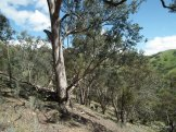 Big, old Long-leaf Box, Eucalyptus goniocalyx.