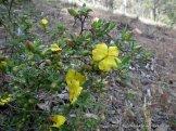 Grey Guinea Flower, Hibbertia obtusifolia.
