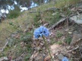 Blue Pincushion, Brunonia australis, not recorded at the survey points.
