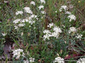 Common Rice-flower, Pimelia humilis.