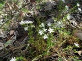 Prickly Starwort, Stellaria pungens.