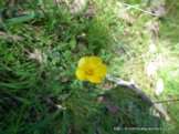 Australian Buttercup, Ranunculus lappaceus.