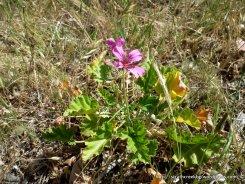 Magenta Stork's Bill, Pelargonium rodneyanum, not recorded at the survey points.